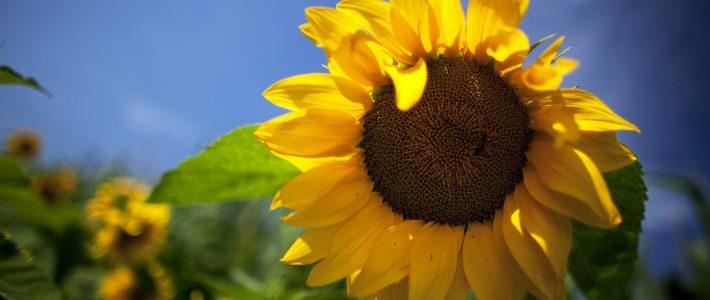 Sonnenblumen werden prämiert